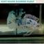 """(ขายแล้ว)""""คัดเกรด""""ปลากัดครีบสั้น-Halfmoon Plakats Fancy Dragon Marble thumbnail 8"""