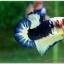 Hi - Premium Grade AAA+ คัดเกรดปลากัดครีบสั้น-Over Tails Halfmoon Plakad Fancy Blue Marble thumbnail 4