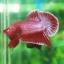 (ขายแล้วครับ)ปลากัดครีบสั้น - Halfmoon Plakats RED2 thumbnail 4