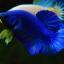 Hi - Premium Grade AAA+ คัดเกรดปลากัดครีบสั้น-Over Tails Halfmoon Plakad Fancy Blue Mustrad thumbnail 3