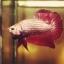 """(ขายแล้วครับ)มังกรแดง""""คัดเกรด""""ปลากัดครีบสั้น-Halfmoon Plakats Red Dragon thumbnail 1"""
