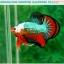 """(ขายแล้วครับ)""""คัดเกรดประกวด""""ปลากัดครีบสั้น-Over Halfmoon Plakats Fancy Dragon Green Orange Monster Quality Grade thumbnail 4"""