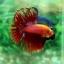 (ขายแล้วครับ)ปลากัดครีบยาวหางมงกุฎ-Crowntails Red thumbnail 8