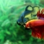 (ขายแล้วครับ)ปลากัดครีบยาวหางมงกุฎ-Crowntails Red thumbnail 12