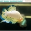 """""""คัดเกรด""""ปลากัดครีบสั้น-Halfmoon Plakats Fancy Marble thumbnail 6"""