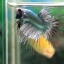 (ขายแล้วครับ)ปลากัดครีบยาวหางมงกุฏ-Crowntails Fancy Copper thumbnail 3