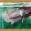 (ขายแล้วครับ)ปลากัดครีบสั้น - Fancy Halfmoon Plakats thumbnail 5