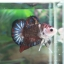 """(ขายแล้วครับ)""""คัดเกรด""""ปลากัดครีบสั้น-Halfmoon Plakats Super Fancy thumbnail 4"""