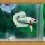 ปลากัดครีบยาว-Fancy Halfmoon Plakats thumbnail 2