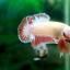 """(ขายแล้วครับ)""""คัดเกรด""""ปลากัดครีบสั้น-Halfmoon Plakats Fancy thumbnail 4"""