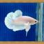 (ขายแล้วครับ)ปลากัดครีบสั้น - White Halfmoon Plakats thumbnail 2