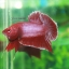 (ขายแล้วครับ)ปลากัดครีบสั้น - Halfmoon Plakats RED2 thumbnail 3