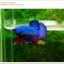 คัดเกรดปลากัดครีบสั้น-Halfmoon Plakat Fancy Green Dragon thumbnail 2