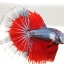 """""""คัดเกรดประกวด""""ปลากัดครีบยาว-Halfmoon Fancy Red Butterfly Premium Quality Grade AAA+ thumbnail 10"""
