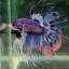 """(ขายแล้วครับ)""""คัดเกรด""""ปลากัดครีบยาวหางมงกุฎ-Crowntails Fancy thumbnail 8"""
