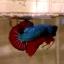 """(ขายแล้วครับ)""""คัดเกรด""""ปลากัดครีบสั้น-Halfmoon Plakats Fancy Dragon Grren Red เกรดพ่อพันธุ์ thumbnail 4"""
