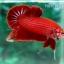 (ขายแล้วครับ)ปลากัดครีบสั้น - Halfmoon Plakats SUPER RED thumbnail 7