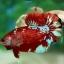 พิเศษโปรโมชั่นปลากัดคัดเกรดครีบสั้น - Halfmoon Plakad Fancy Dragon Quality Grade thumbnail 4