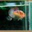 คัดเกรดปลากัดครีบสั้น-Halfmoon Plakat Fancy Nice Colors thumbnail 2