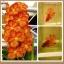 ปลากัดครีบสั้น-Fancy Color Flower ลายดอกกล้วยไม้ thumbnail 1