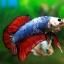 (ขายแล้วครับ)ปลากัดครีบสั้น-Halfmoon Plakats Fancy Dragon thumbnail 6