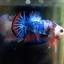 """(ขายแล้วครับ)ตอนรับปีใหม่""""คัดเกรด""""ปลากัดครีบสั้น-Halfmoon Plakats Super Fancy thumbnail 12"""