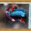 (ขายแล้วครับ)ปลากัดครีบสั้น - Halfmoon Plakats Fancy thumbnail 2