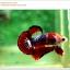 คัดเกรดปลากัดครีบสั้น-Hi- Quality Halfmoon Plakat Fancy Red Black Eye Quality Grade thumbnail 3