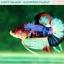 """(ขายแล้วครับ)""""คัดเกรดประกวด""""ปลากัดครีบสั้น-Halfmoon Plakats Fancy Dragon Koi Quality Grade thumbnail 7"""