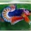 Hi - Premium Grade AAA+ คัดเกรดปลากัดครีบสั้น-Over Tails Halfmoon Plakad Fancy Blue Orange thumbnail 1