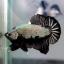 """(ขายแล้วครับ)""""คัดเกรด""""ปลากัดครีบสั้น-Halfmoon Plakats Black Dragon thumbnail 6"""