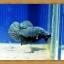 ปลากัดครีบสั้น - Halfmoon Plakats thumbnail 3
