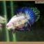 คัดเกรดปลากัดครีบสั้น-Halfmoon Plakat Fancy Blue Dragon and Marble thumbnail 3
