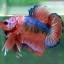 (ขายแล้วครับ)Fancy Orange Over ปลากัดครีบสั้น-Halfmoon Plakats thumbnail 5