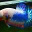 คัดเกรดปลากัดครีบสั้น-Halfmoon Plakad Fancy Dragon Qaulity Grade thumbnail 2