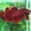 """(ขายแล้วครับ)""""คัดเกรด""""ปลากัดครีบสั้น - Halfmoon Plakats SUPER RED02 thumbnail 2"""