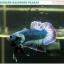 """(ขายแล้วครับ)""""คัดเกรด""""ปลากัดครีบสั้น-Halfmoon Plakats Grizzled thumbnail 2"""