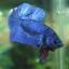 (ขายแล้วครับ)ปลากัดครีบสั้น - Halfmoon Plakats SUPER BLUE thumbnail 2