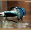 คัดเกรดปลากัดครีบสั้นหางพระจันทร์ครึ่งดวง - Halfmoon Plakat Fancy Mustrad thumbnail 2