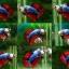 (ขายแล้วครับ)ปลากัดครีบสั้น-Halfmoon Plakats Fancy Dragon thumbnail 1