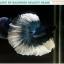 """(ขายแล้วครับ)""""คัดเกรดประกวด""""ปลากัดครีบยาว-Halfmoon BF 2 Colors Quality Grade thumbnail 1"""