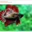 คัดเกรดปลากัดครีบสั้น-Halfmoon Plakat Copper Quality Grade thumbnail 5