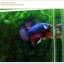 คัดเกรดปลากัดครีบสั้น-Halfmoon Plakat Fancy Dragon Green Blue Red thumbnail 3