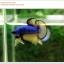คัดเกรดปลากัดครีบสั้น-Halfmoon Plakat Mustrad Quality Grade thumbnail 5