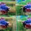 (ขายแล้วครับ)ปลากัดครีบยาวหางมงกุฏ-Crowntails Thailand thumbnail 1