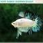 """(ขายแล้วครับ)""""คัดเกรด""""ปลากัดครีบสั้น-Halfmoon Plakats Fancy Marble Quality Grade thumbnail 7"""