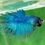 (ขายแล้วครับ)ปลากัด ครีบยาว หางมงกุฎ สีเขียว - Crowntails (ขายเป็นคู่) thumbnail 4