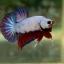 """(ขายแล้วครับ)""""คัดเกรด""""ปลากัดครีบสั้น-Halfmoon Plakats Fancy Dragon thumbnail 8"""