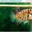 """(ขายแล้วครับ)""""คัดเกรด""""ปลากัดครีบสั้น-Halfmoon Plakats Fancy Koi Quality Grade thumbnail 6"""