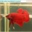 """(ขายแล้วครับ)""""คัดเกรด""""ปลากัดครีบสั้น-Halfmoon Plakats Super Red thumbnail 5"""
